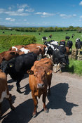 Dairy cattle crossing a road heading into parlour for milking. Cumbria, UK.