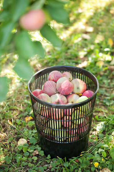 Fresh apples in a basket in a garden