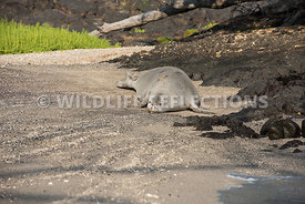 hawaiian_monk_seal_big_island_02062015-144