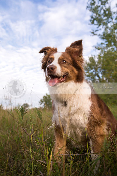 red and white australian shepherd dog posing in grasses with sky