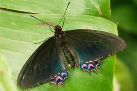 Papilio species, laying eggs