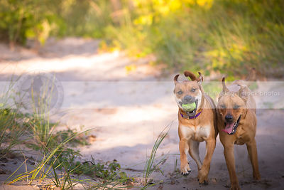 two tan cross breed dogs chasing running in sand with vegetation