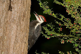 October - Pileated Woodpecker