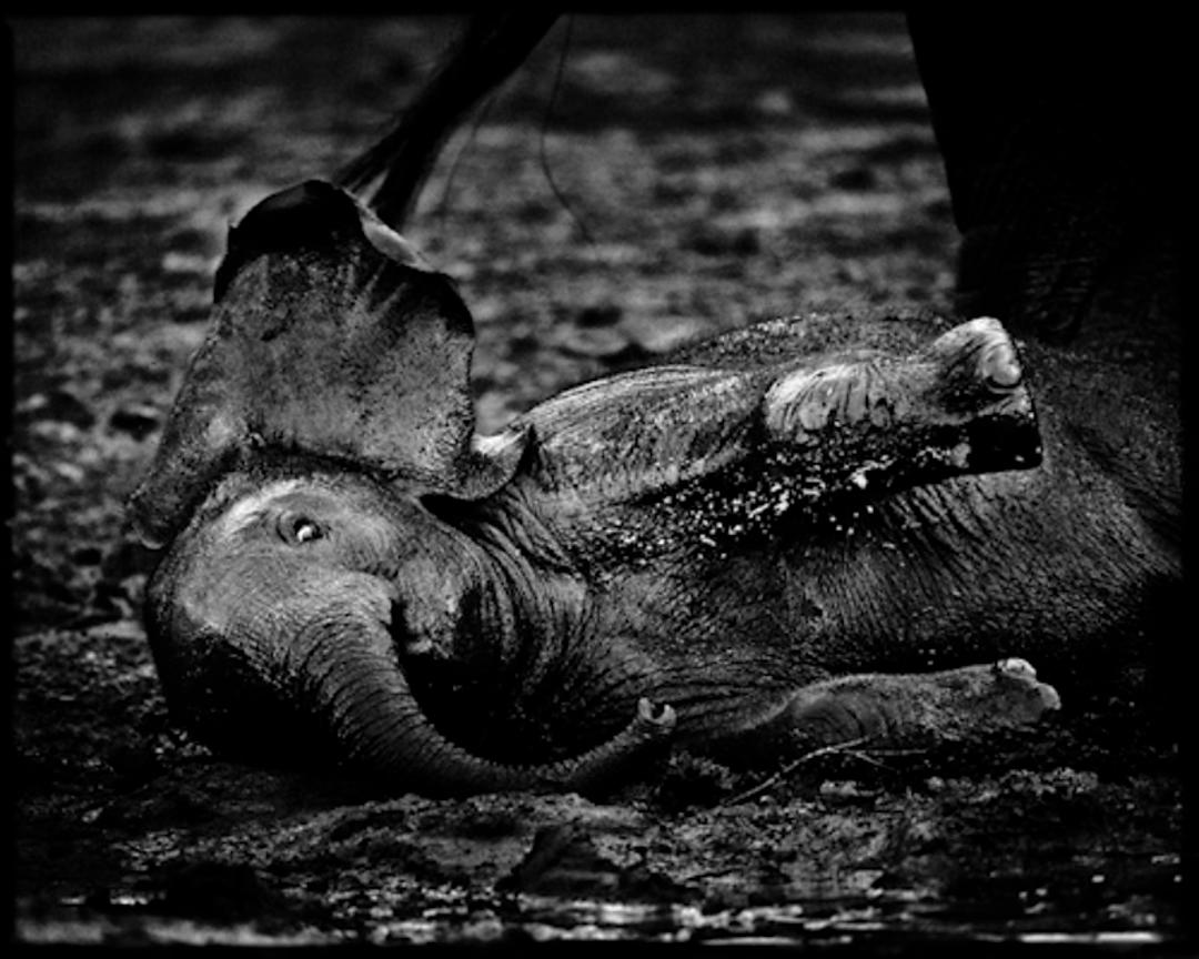 7865-Baby_elephant_playing_in_mud_South_Africa_2008_Laurent_Baheux