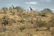 Giraffes on hill ridge