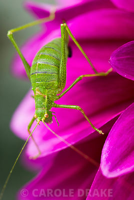 Speckled bush cricket, Leptophyes punctatissima, on magenta dahlia