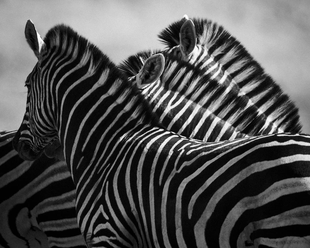 8352-Three_zebra_heads_Laurent_Baheux