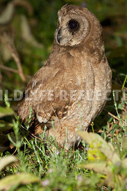 african_marsh_owl_dark_4