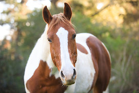 Close-up of White and Brown Horse with Green Background