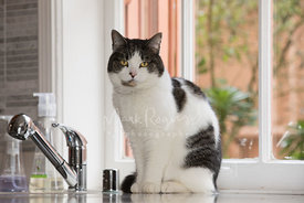 White and Grey Cat Sitting on Kitchen Counter near Sink