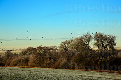 Crows roosting in frost covered trees