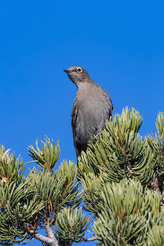Townsend Solitaire in Wild Rivers Area of Rio Grande del Norte National Monument