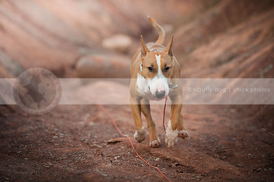 tan and white dog running to camera in red clay valley