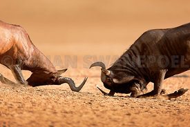 Blue Wildebeest sparring with Red Hartebeest