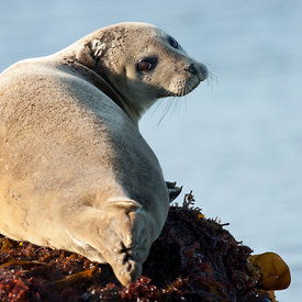 Harbor Seal wildlife photos