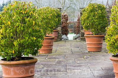 Prunus lusitanica 'Myrtifolia' in pots on the terrace frame the entrance to Il Vivaio, a small enclosed pond garden and the focal point of a terracotta urn beyond.