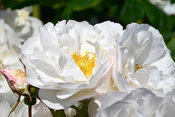 Aromatic, Digital, fragrant, Perpetual rose, Scented, semi double, Shrub rose, White