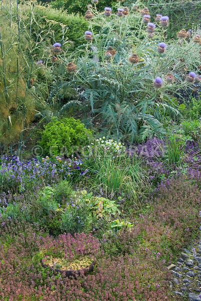 Sunken herb garden contains many medicinal and culinary plants including thymes, violas, lavender, fennel and glove artichokes. The Cider House, Buckland Abbey, Yelverton, Devon, UK