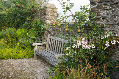 Seat below gap in wall is framed with a small apple tree supporting Clematis florida var sieboldiana with Clematis 'Gravetye Beauty' on the other side. The Cider House, Buckland Abbey, Yelverton, Devon, UK