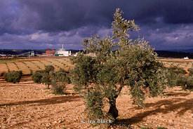 olive tree and landscape
