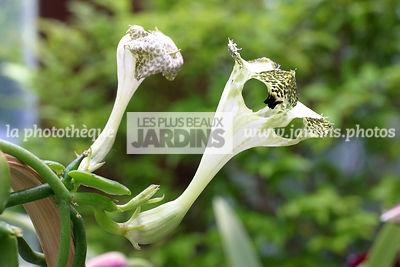la phototh que les plus beaux jardins ceropegia sandersonii plante parachute. Black Bedroom Furniture Sets. Home Design Ideas