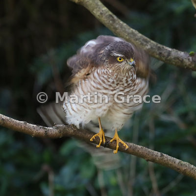 Eurasian Sparrowhawk (Accipiter nisus) rotating its body rapidly to shake its feathers but still keeping its head absolutely still, Lyth Valley, Cumbria, England: Image 1 of 5