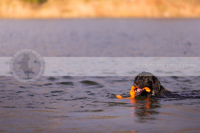 black dog with toy looking back swimming in water