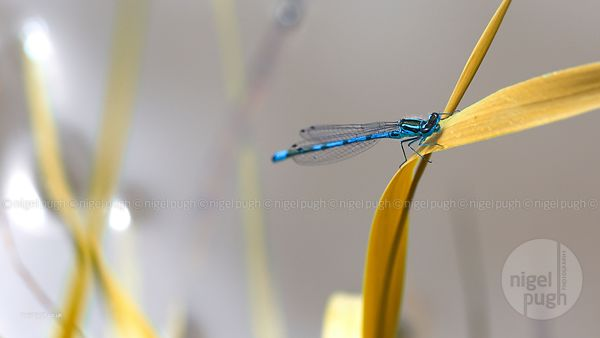 Male Azure Damselfly: