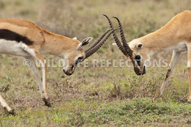 thomsons_gazelle_battle_40