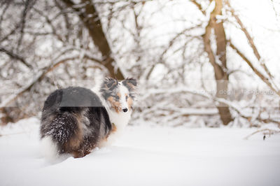 cute snowy longhaired merle dog from behind looking back in snow