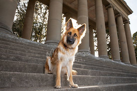Long Haired German Shepherd Sitting on Stairs in Front of Columns