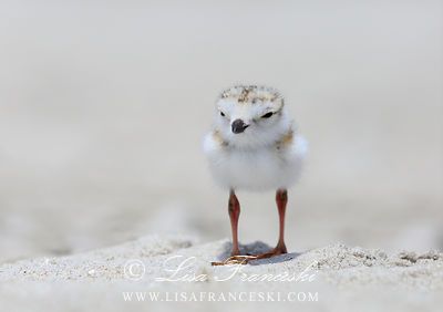 Piping Plovers  Shorebirds