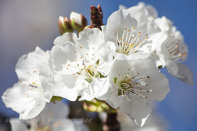 Cherry blossom in Northern California