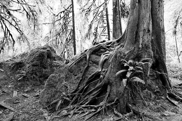 RAINFOREST TREE ROOTS MARYMERE FALLS TRAIL OLYMPIC NATIONAL PARK WASHINGTON BLACK AND WHITE