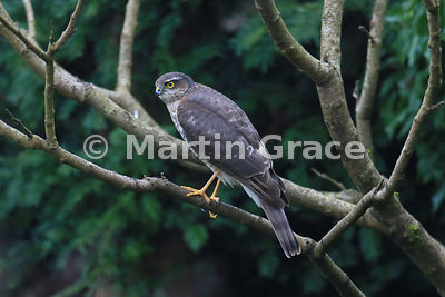Juvenile male Eurasian Sparrowhawk (Accipiter nisus) perches in a garden Lilac tree (Syringa sp), Lyth Valley, Cumbria, England