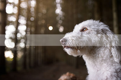 closeup headshot of beautiful white doodle in sparkly forest