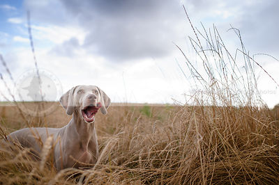 weimaraner licking lips in dried grasses under cloudy sky