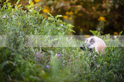 afghan hound dog hiding in vegetation and flowers