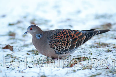 Oriental turtle-dove/Mongolturteldue - Norway