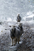 Herdwick sheep standing on a lane during a snowstorm, North Yorkshire, UK.