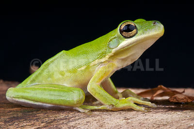 American green tree frog (Hyla cinerea) photos
