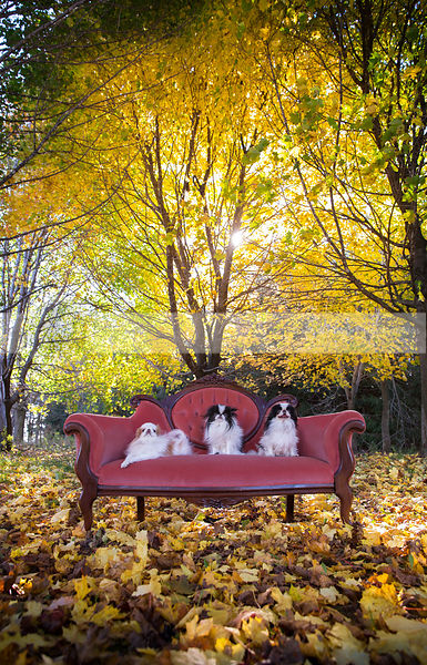 three little dogs on antique settee in autumn leaves