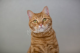 orange tabby catin studio against neutral background