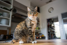 Brown Tabby Cat with White Paws Sitting on Kitchen Counter