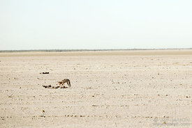 Jackal eating carcasse in desert