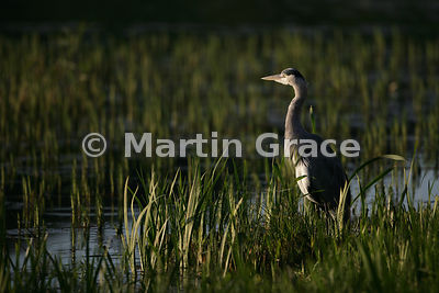 Grey Heron (Ardea cinerea) in late evening angular sunlight, Leighton Moss (RSPB), Carnforth, Lancashire, United Kingdom