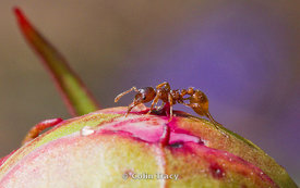 Red Ant on Peony Bud