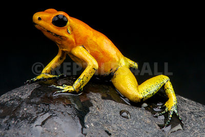 Orange dart frog / Phyllobates terribilis photos