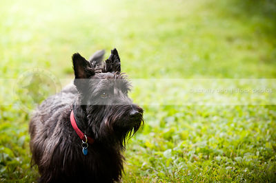 black scottish terrier dog posing in park with bokeh background