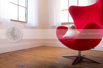 cute little japanese chin dog lounging on egg chair indoors